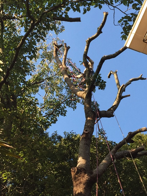 伐採 - 20m越えの高木・支障木の伐採工事風景