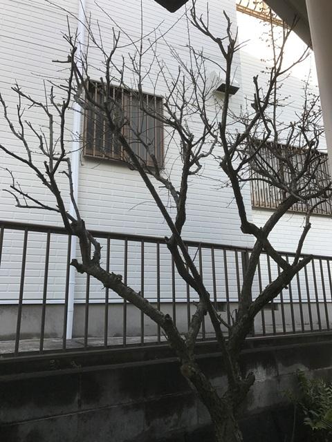 低木の梅の木の剪定風景