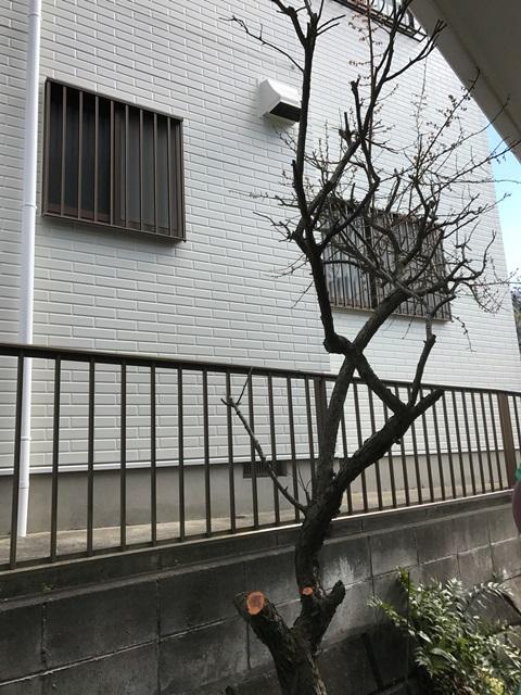 低木の梅の木の剪定風景 作業完了