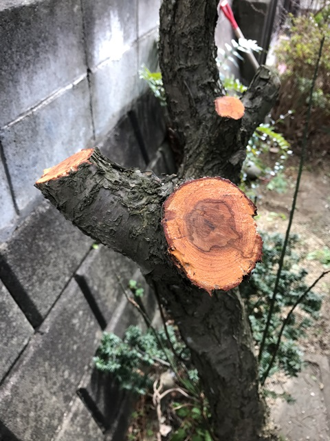 剪定後の梅の木にトップコートを塗った写真