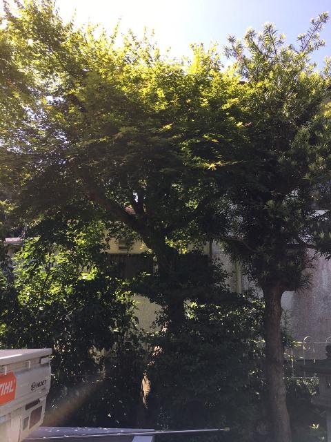 神奈川県鎌倉市雪ノ下-庭木・植木の剪定の作業前
