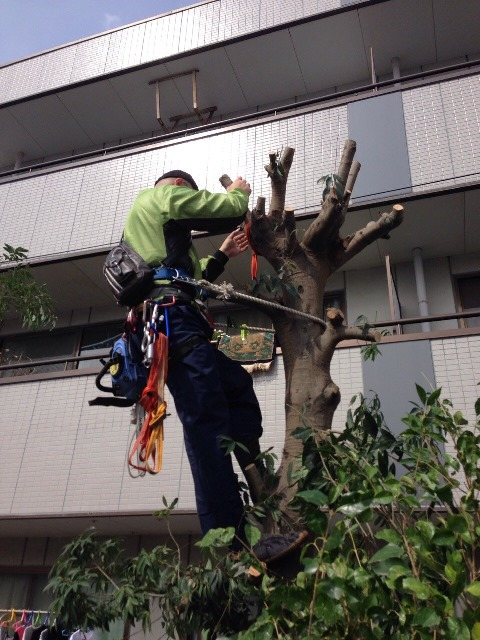 伐採 - マンションの庭に生育した高木の伐採工事