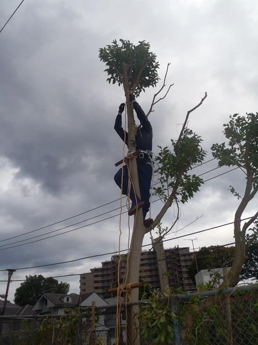 伐採 - 植木の先端のトップカット 強剪定