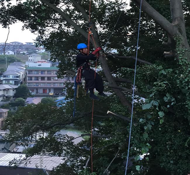 崖に生育した大型樹木の解体撤去風景(特殊伐採工事)