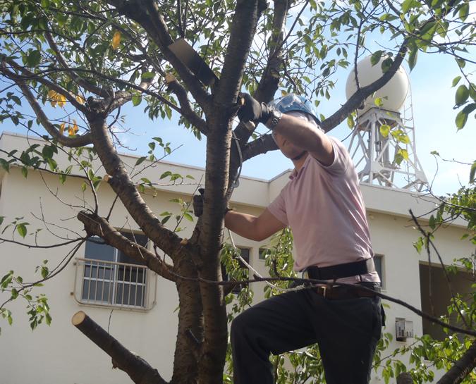 伐採 - 桜の木 伐採前の作業中