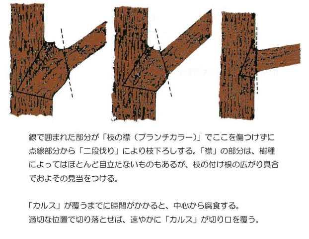 剪定 - 二段伐りの手順説明その2