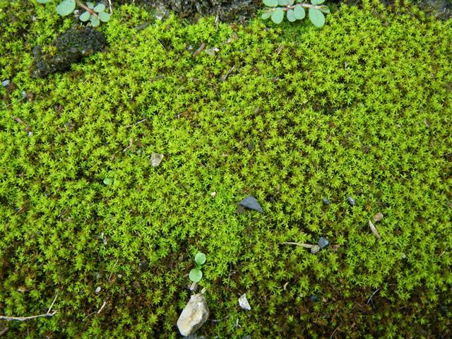 屋根 苔 原因 - 苔の種類の説明画像1
