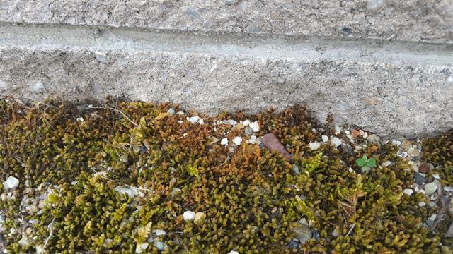 屋根 苔 原因 - 苔の種類の説明画像